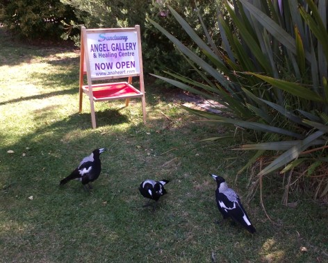 Magpies at Sanctuary Angel Gallery